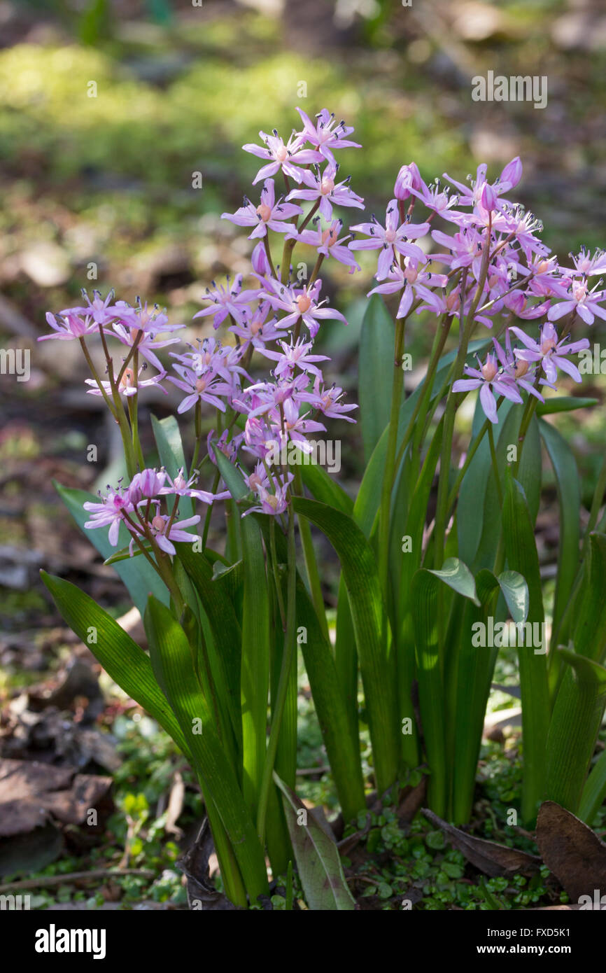 Pink flowers of the small spring flowering bulb scilla bifolia pink flowers of the small spring flowering bulb scilla bifolia rosea mightylinksfo Gallery