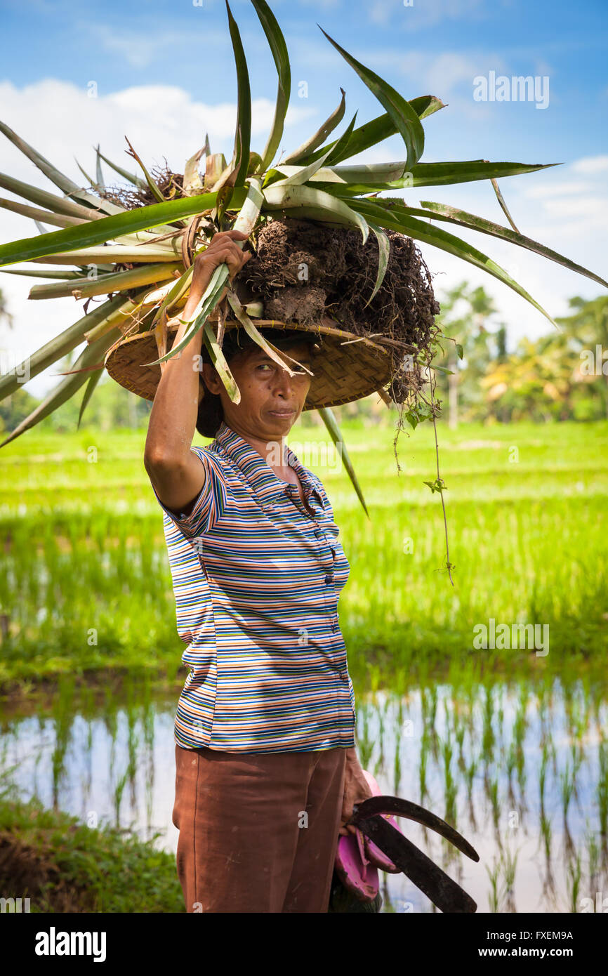 Ubud, Indonesia - February 28, 2016: Woman farmer carrying crops on her head on the rice filends in Ubud, Bali, Stock Photo