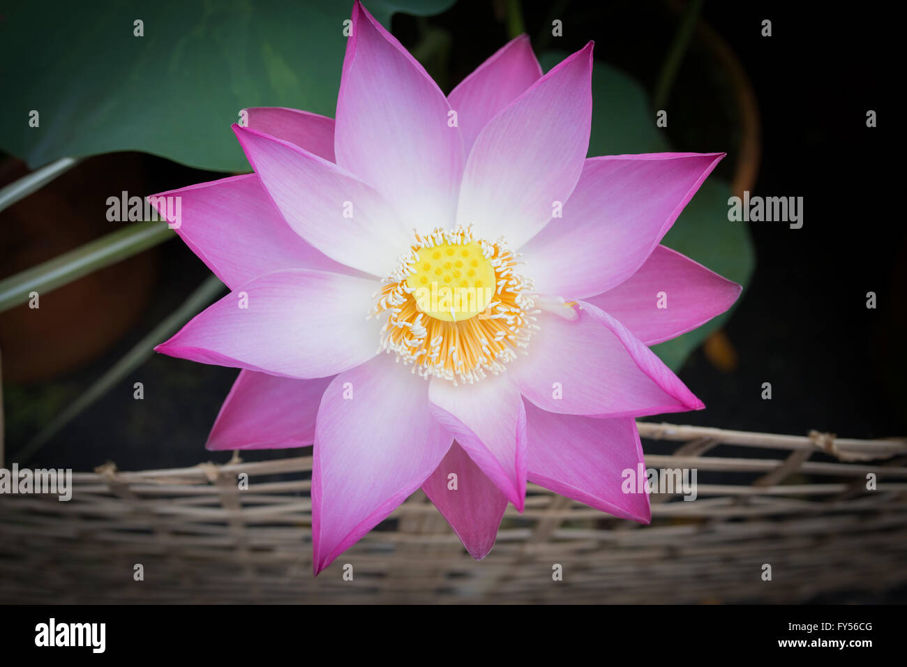 Beautiful lotus flower bloom stock photo 102762368 alamy beautiful lotus flower bloom izmirmasajfo Images