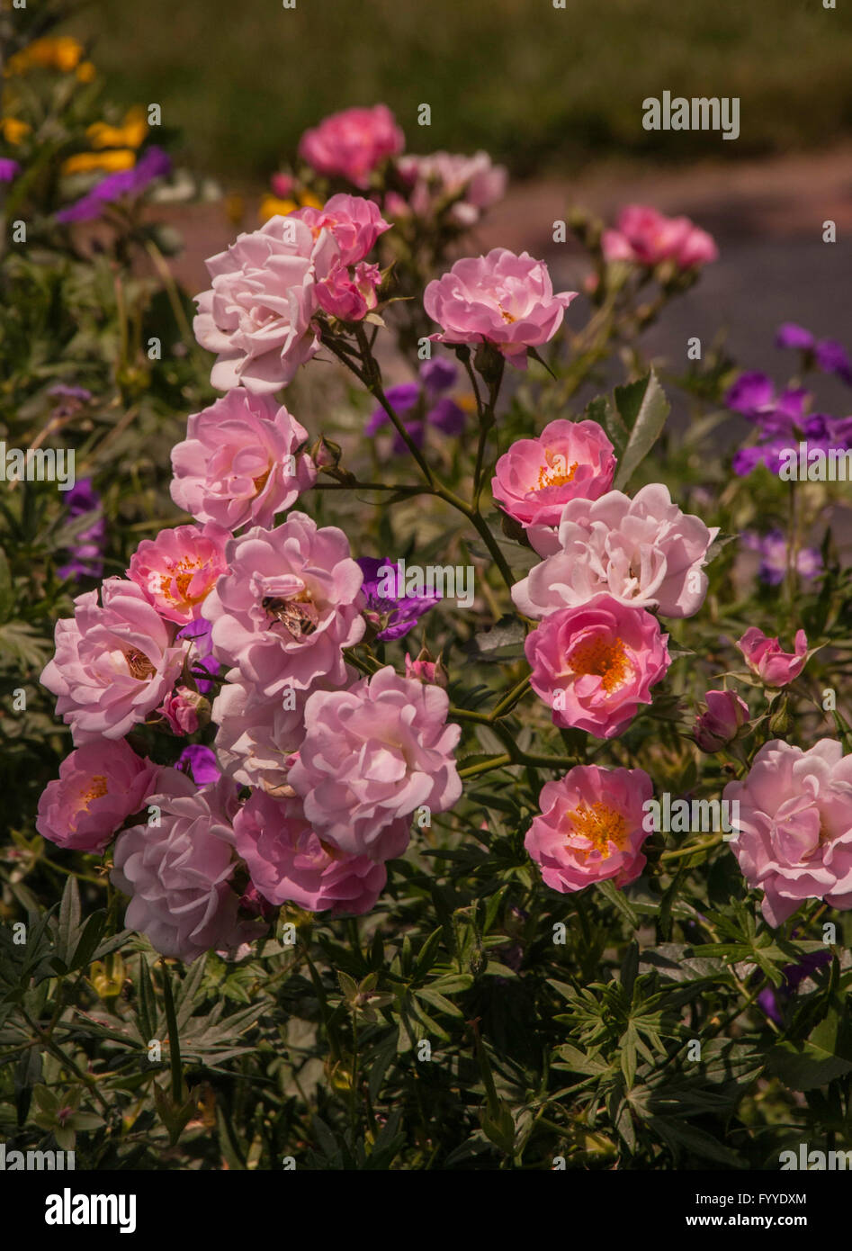 Rosa MYSTIC, Town and Country Landscape rose Stock Photo: 103251196 ...