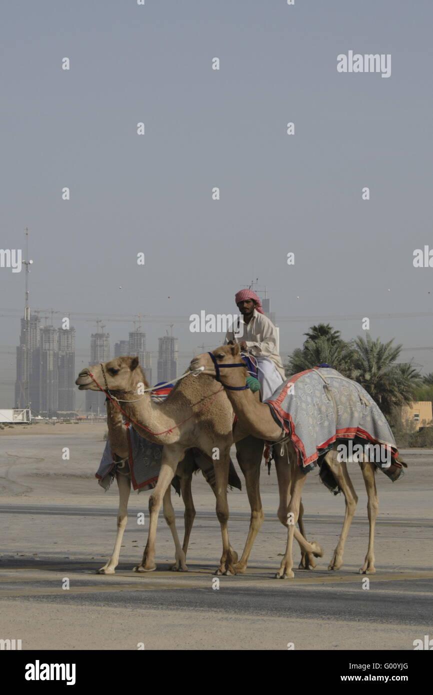 racing camels and Jockey at Dubai, Emirates - Stock Image