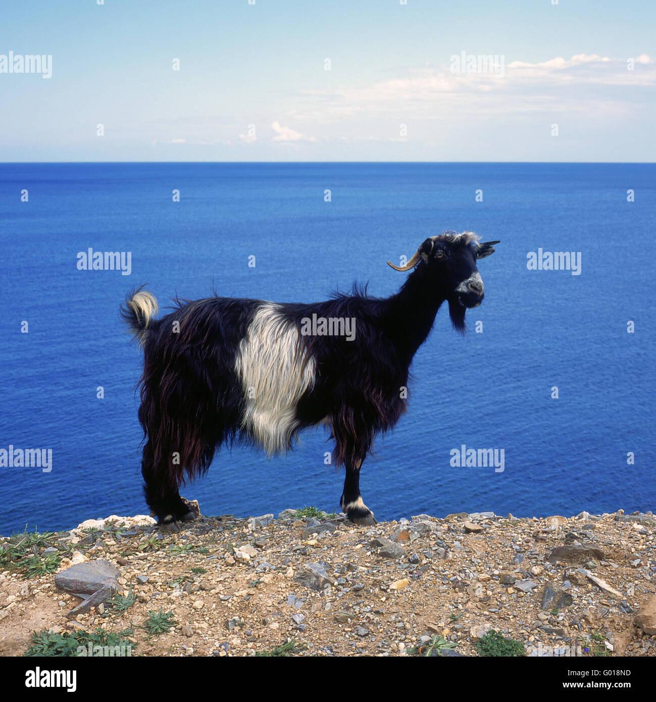 greek gaat at the beach of Crete Island, Greece, - Stock Image