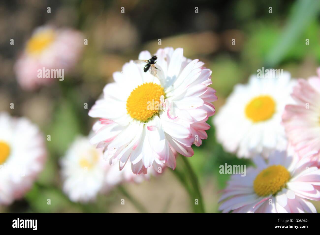 Shape daisy stock photos shape daisy stock images alamy little fly on the beautiful flowers of daisy stock image izmirmasajfo Choice Image