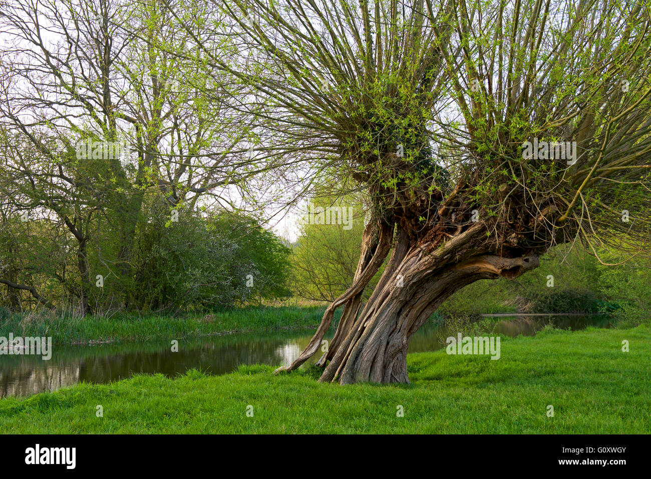 pollarded-willow-tree-by-the-river-stour-dedham-vale-essex-england-G0XWGY.jpg