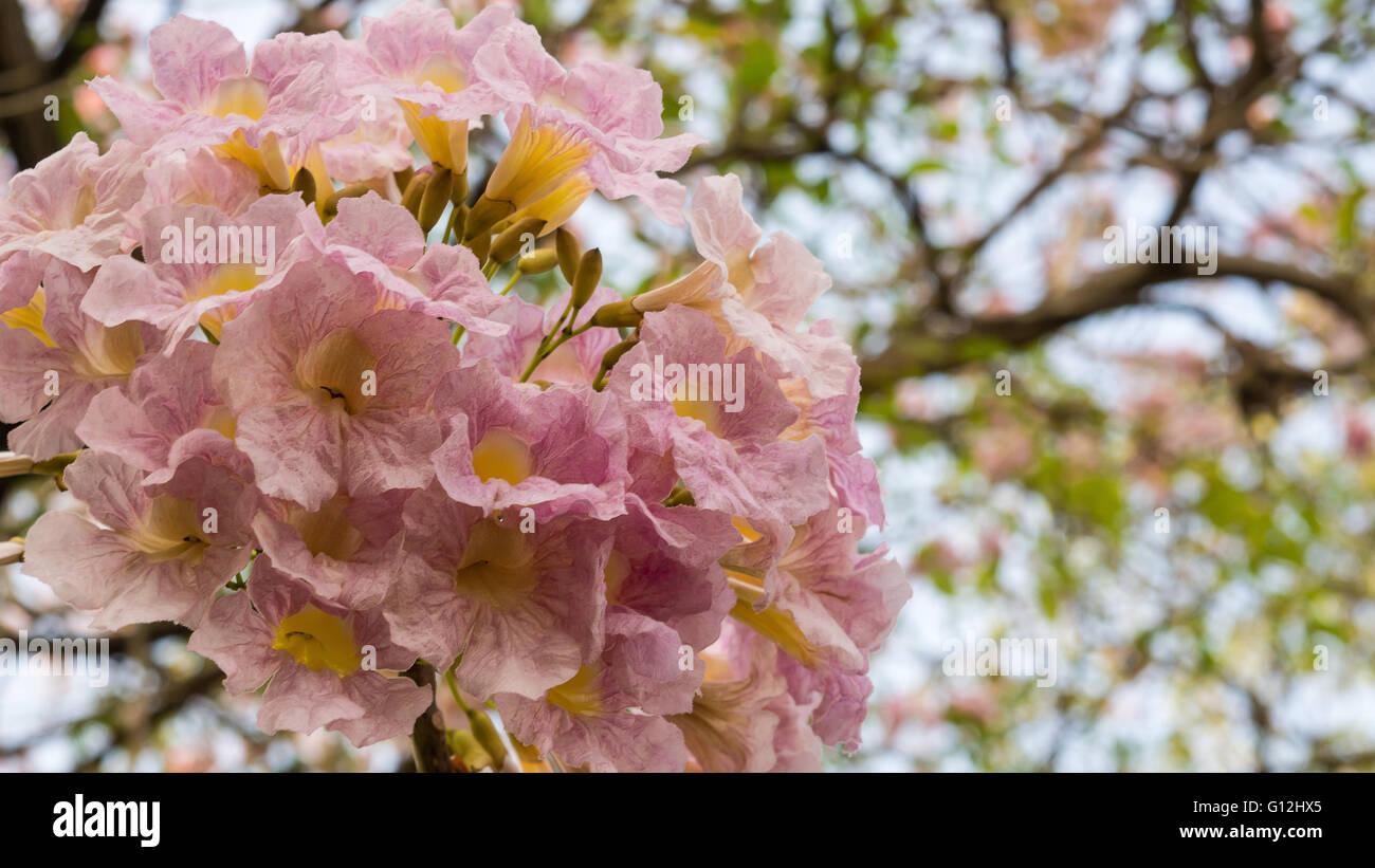 Pink trumpet flowers stock photo 103934829 alamy pink trumpet flowers mightylinksfo