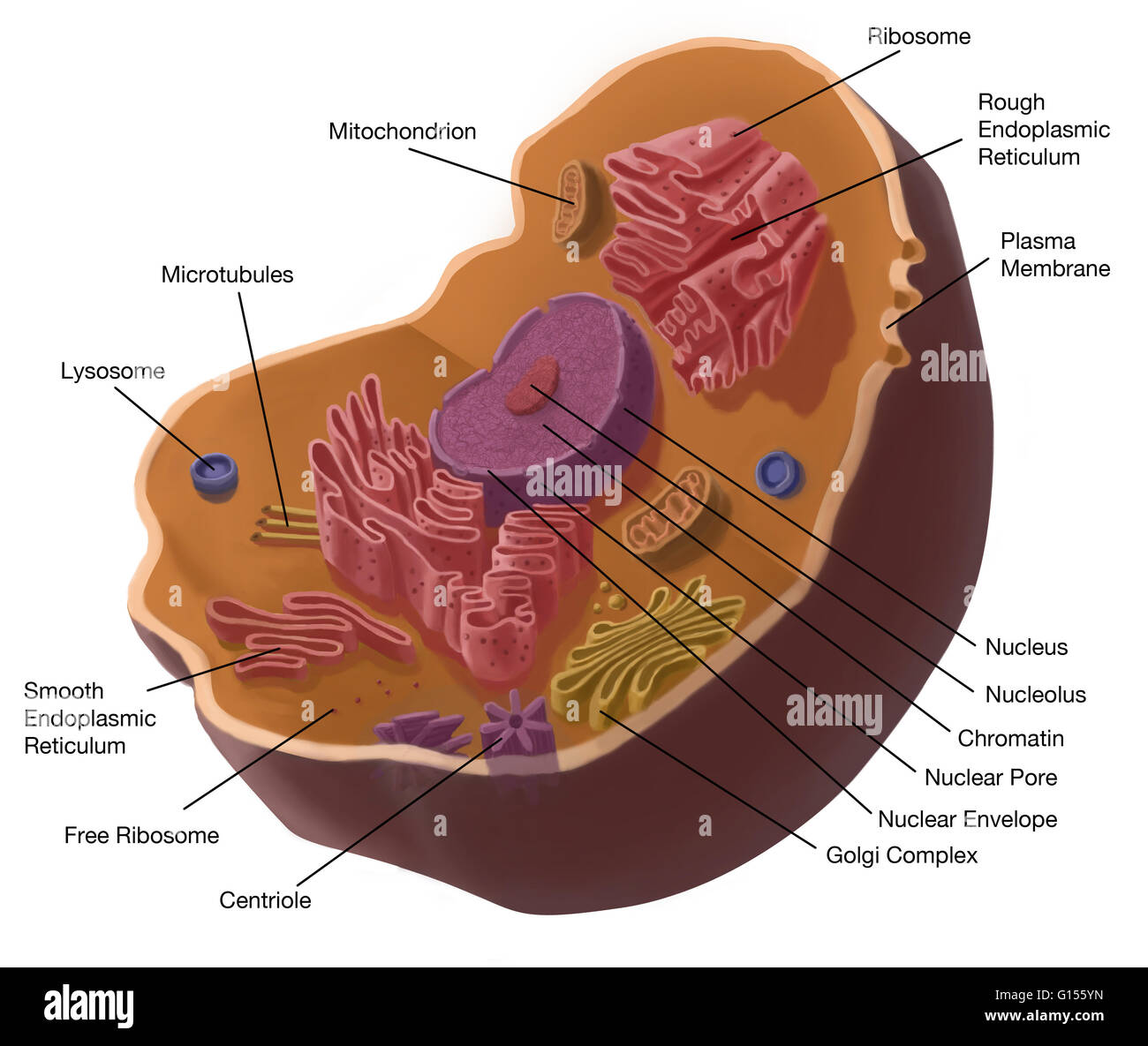 Illustration of animal cell the cell has a nucleus in its center the cell has a nucleus in its center that contains chromatin constituted of dna and nucleole composed of rna and proteins around the nucleus we find ccuart Image collections