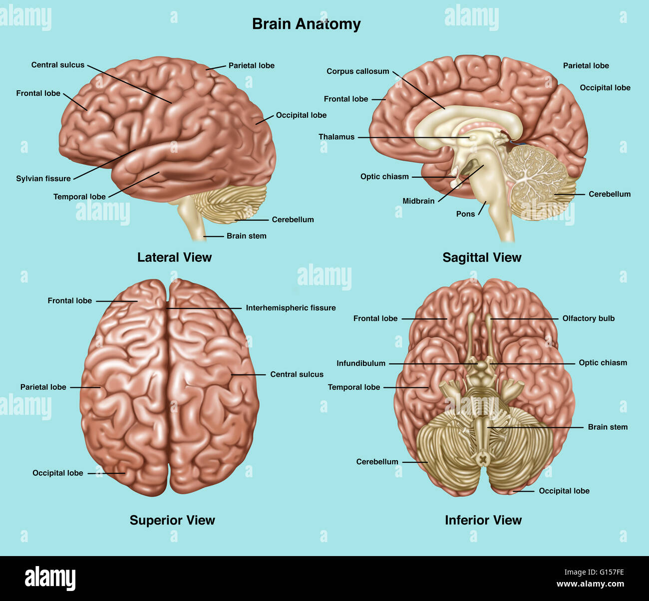 Illustration showing anatomy of a normal brain in lateral, sagittal ...