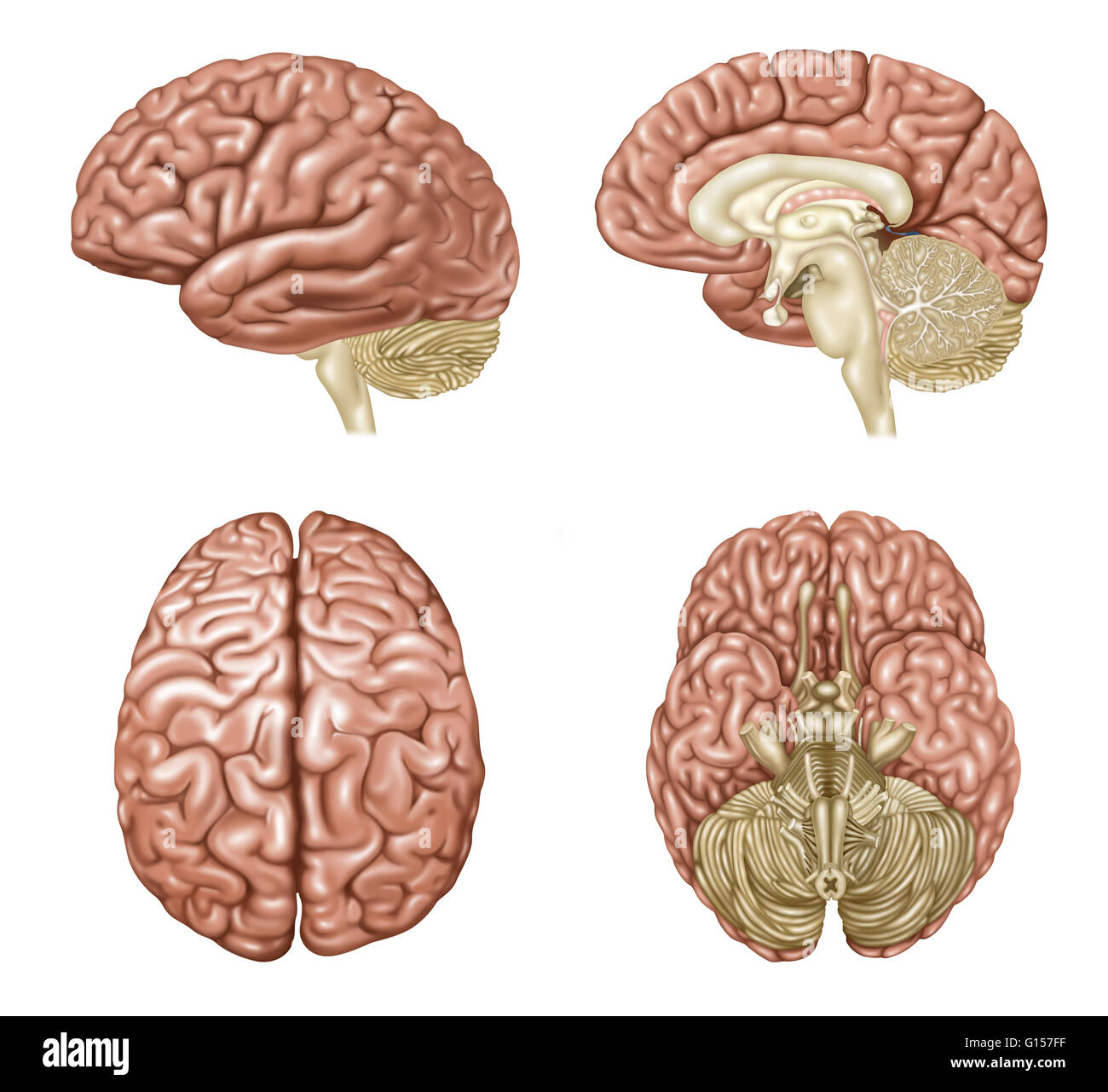 Illustration Showing Anatomy Of A Normal Brain In Lateral Sagittal
