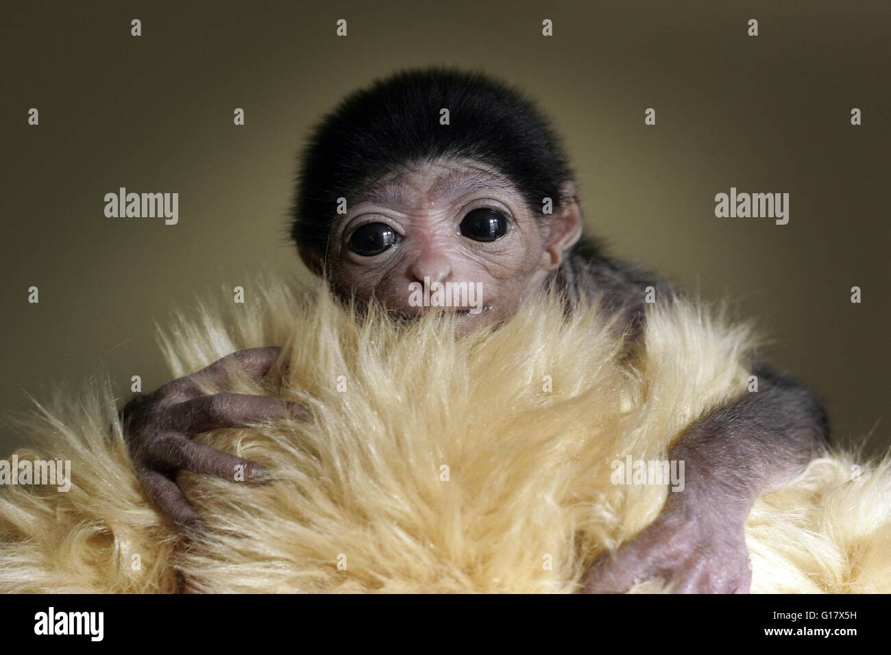A baby Lar Gibbon wrapped in a fake fur to keep him warm.Stock Photo