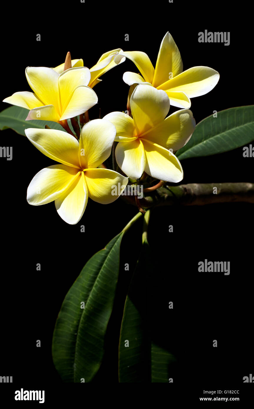 Fragrant beautiful plumeria flowers used in spas are blossoming on fragrant beautiful plumeria flowers used in spas are blossoming on the tree in bonita springs florida in the spring time mightylinksfo