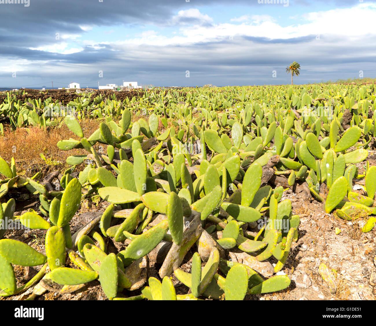opuntia-ficus-indica-prickly-pear-cactus
