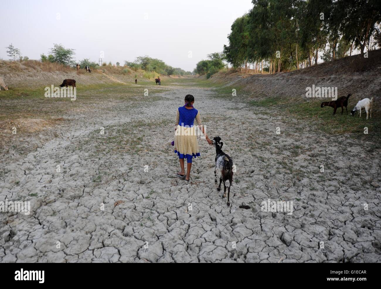 Allahabad, Uttar Pradesh, India. 14th May, 2016. Allahabad: A girls walks with her cattle at parched bed of River Stock Photo
