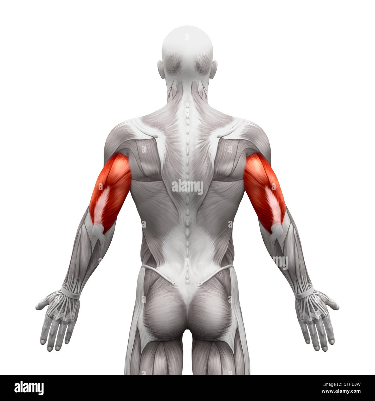 Triceps Muscles - Anatomy Muscles isolated on white - 3D ...