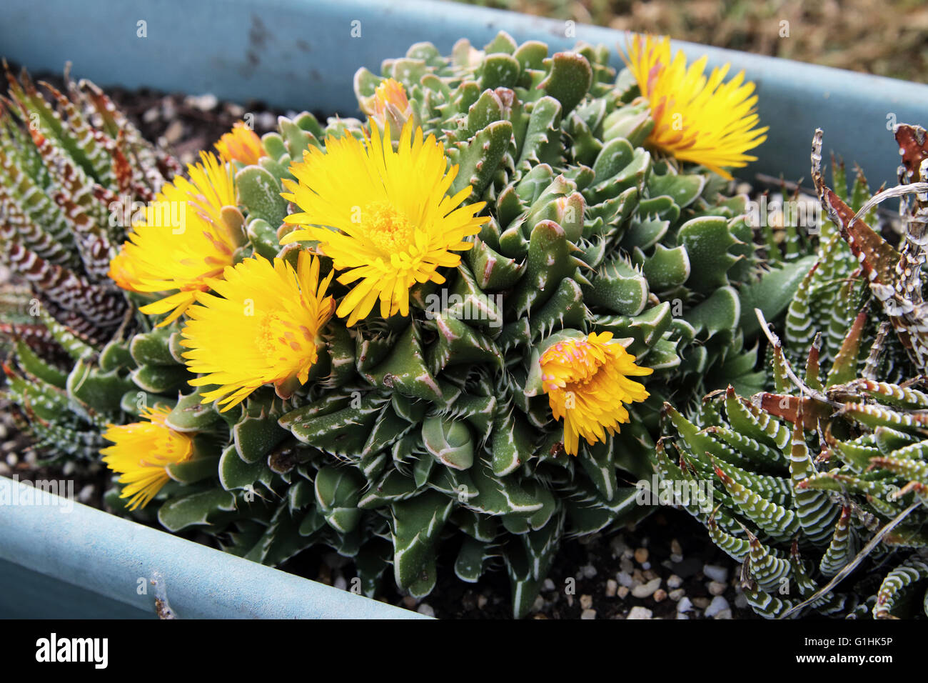 Close up of tiger jaws succulent plant or known as faucaria tigrina close up of tiger jaws succulent plant or known as faucaria tigrina with yellow flowers mightylinksfo