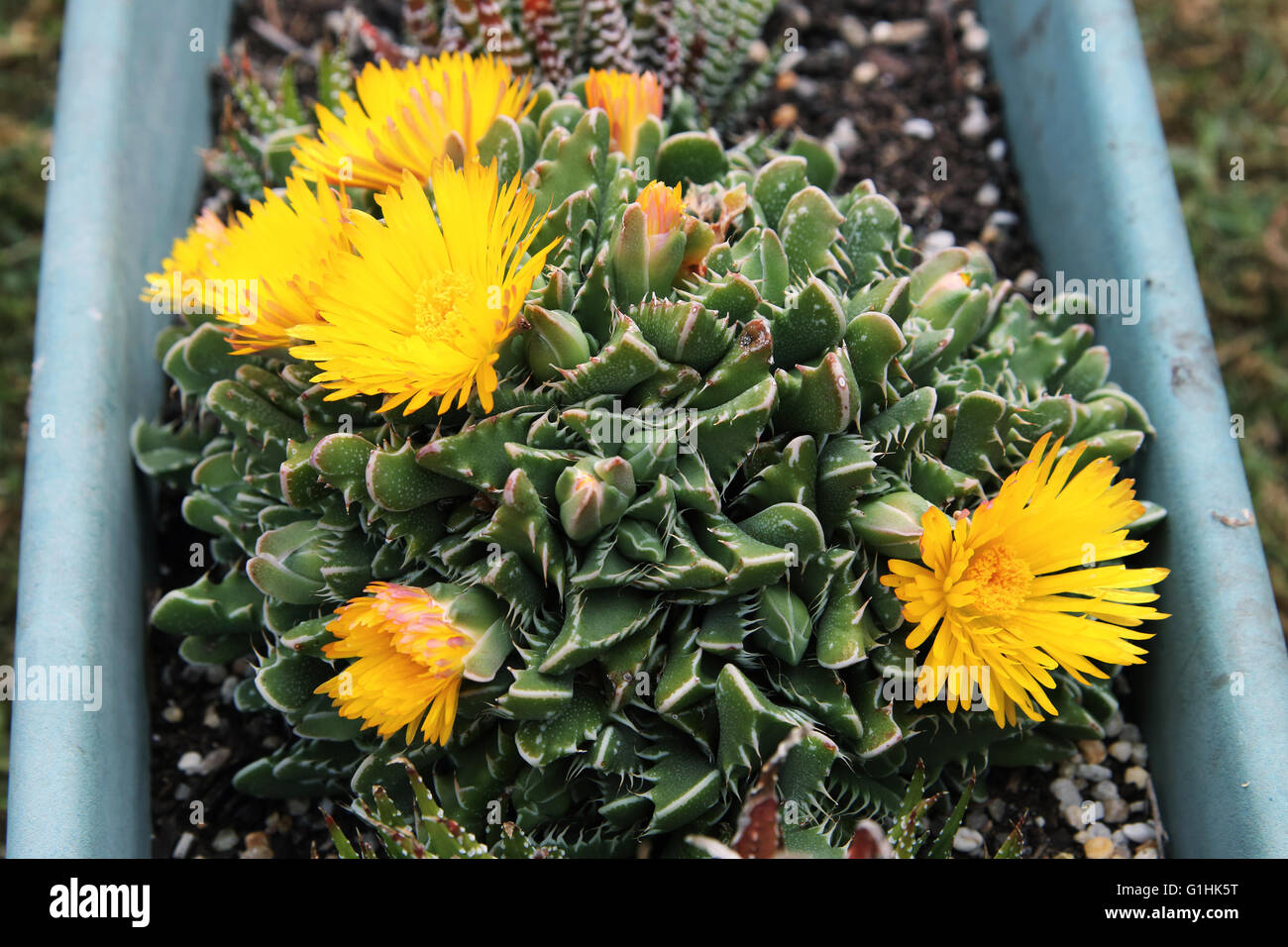 Tiger jaws succulent plant or known as faucaria tigrina with yellow tiger jaws succulent plant or known as faucaria tigrina with yellow flowers mightylinksfo