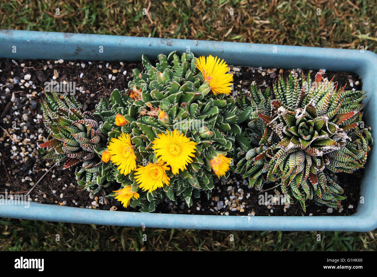 Tiger Jaws Succulent Plant Or Known As Faucaria Tigrina With Yellow