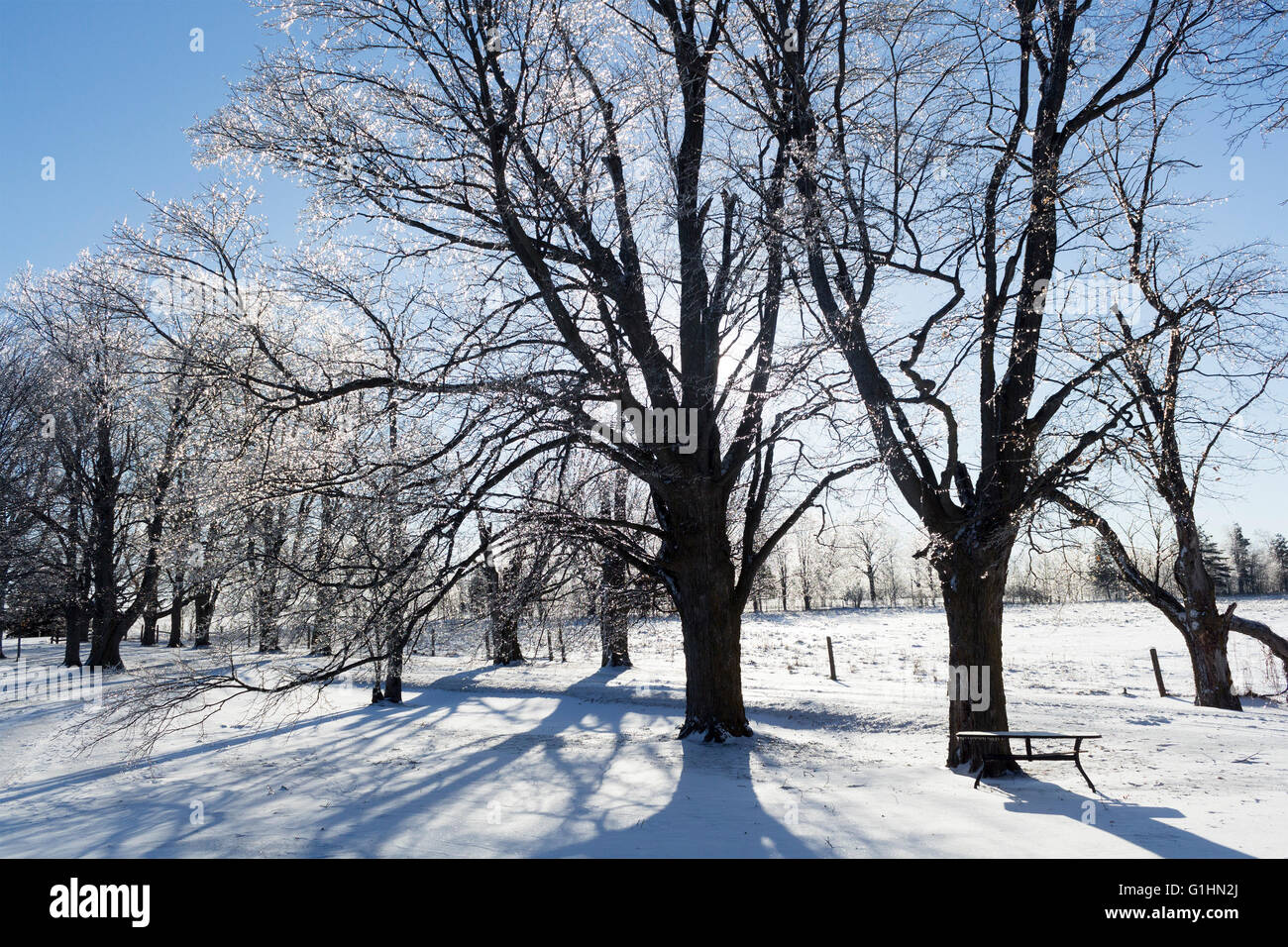 sun-streaming-behind-maple-trees-on-sunny-day-in-winter-with-snow-G1HN2J.jpg