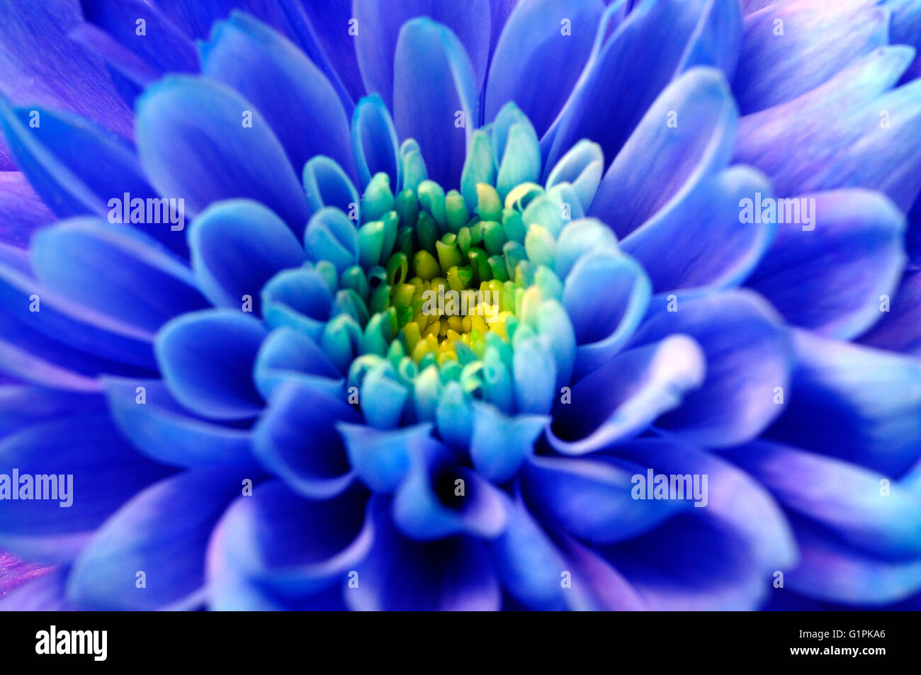 Close Up Of Blue Aster Flower For Background Stock Photo 104374990