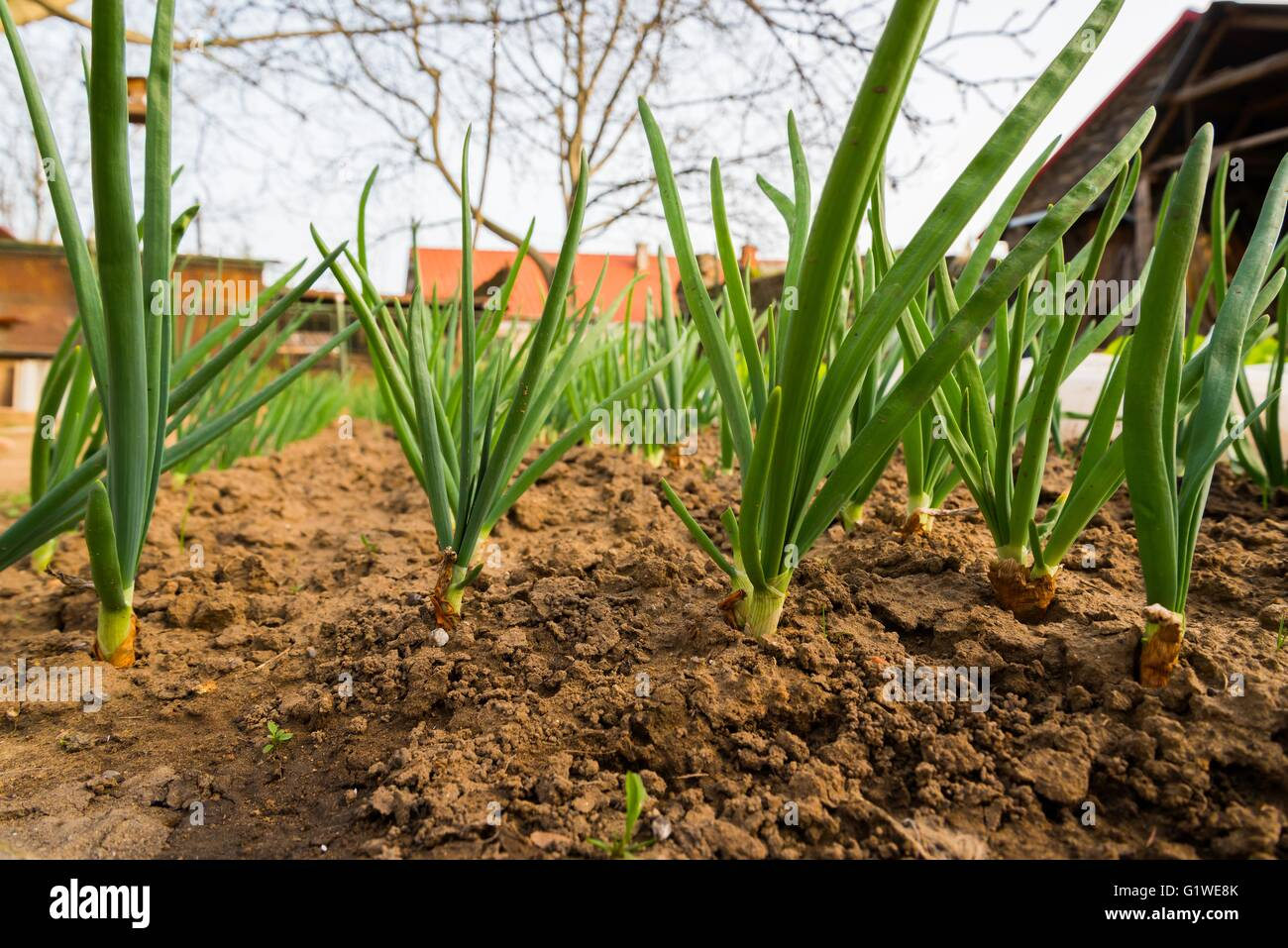 Spring onion sprouts in vegetable garden in early spring Stock Photo ...
