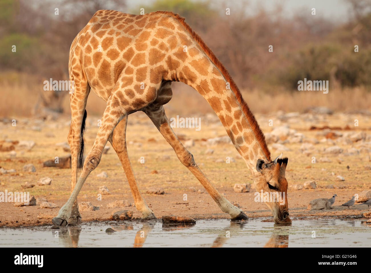 Giraffe (Giraffa camelopardalis) drinking water, Etosha National Park, Namibia - Stock Image