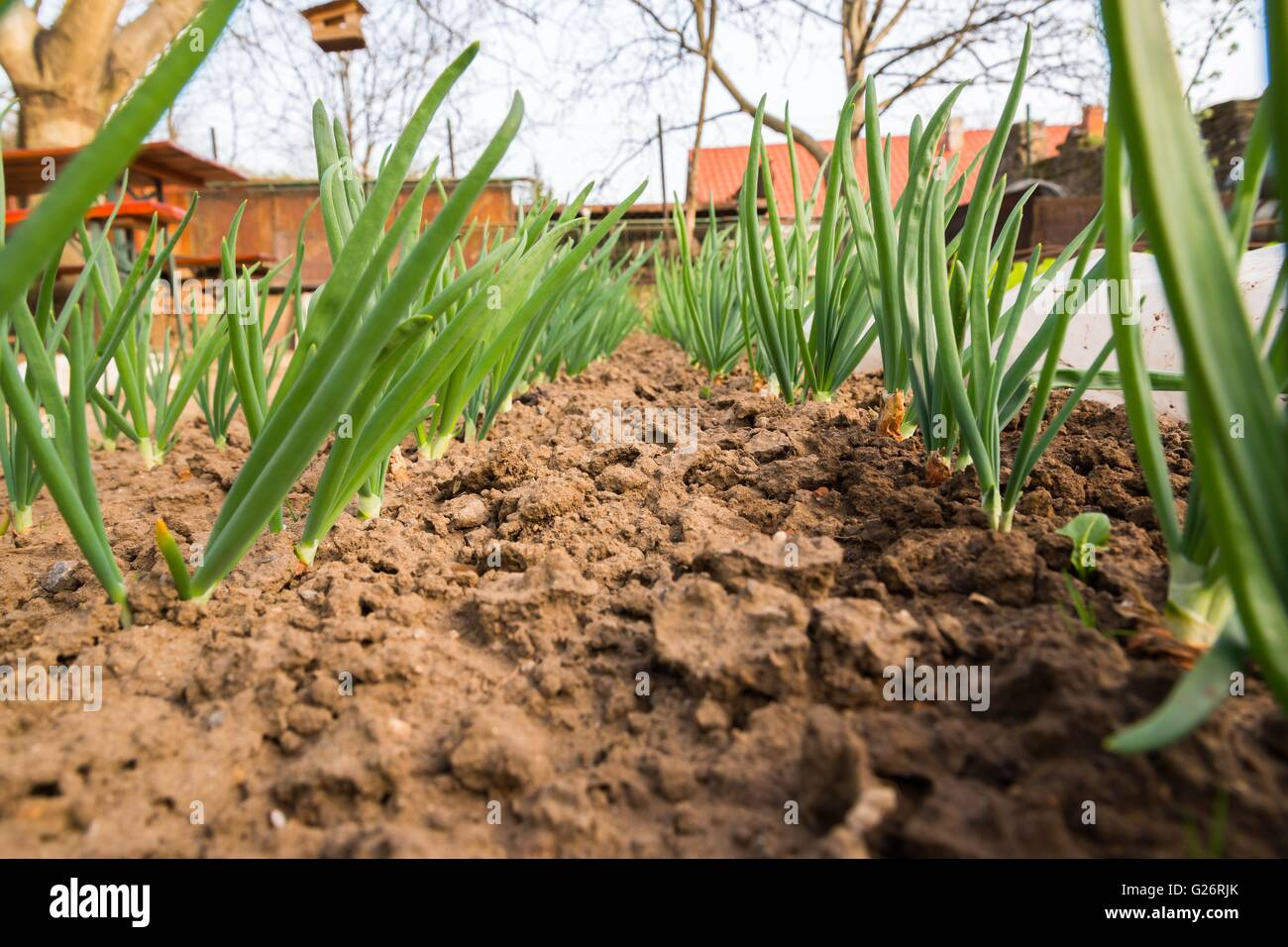 Spring onion sprouts in vegetable garden in early spring. Space in ...