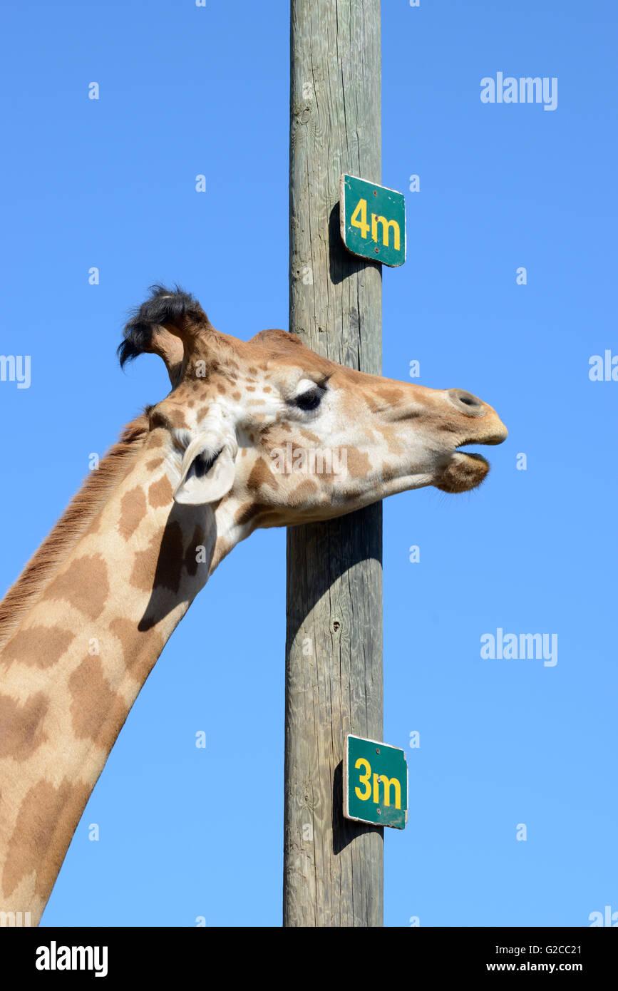 Neck and Measurement Pole Showing Height of a Reticulated Giraffe or Somali Giraffe (Giraffa camelopardalis reticulata) - Stock Image