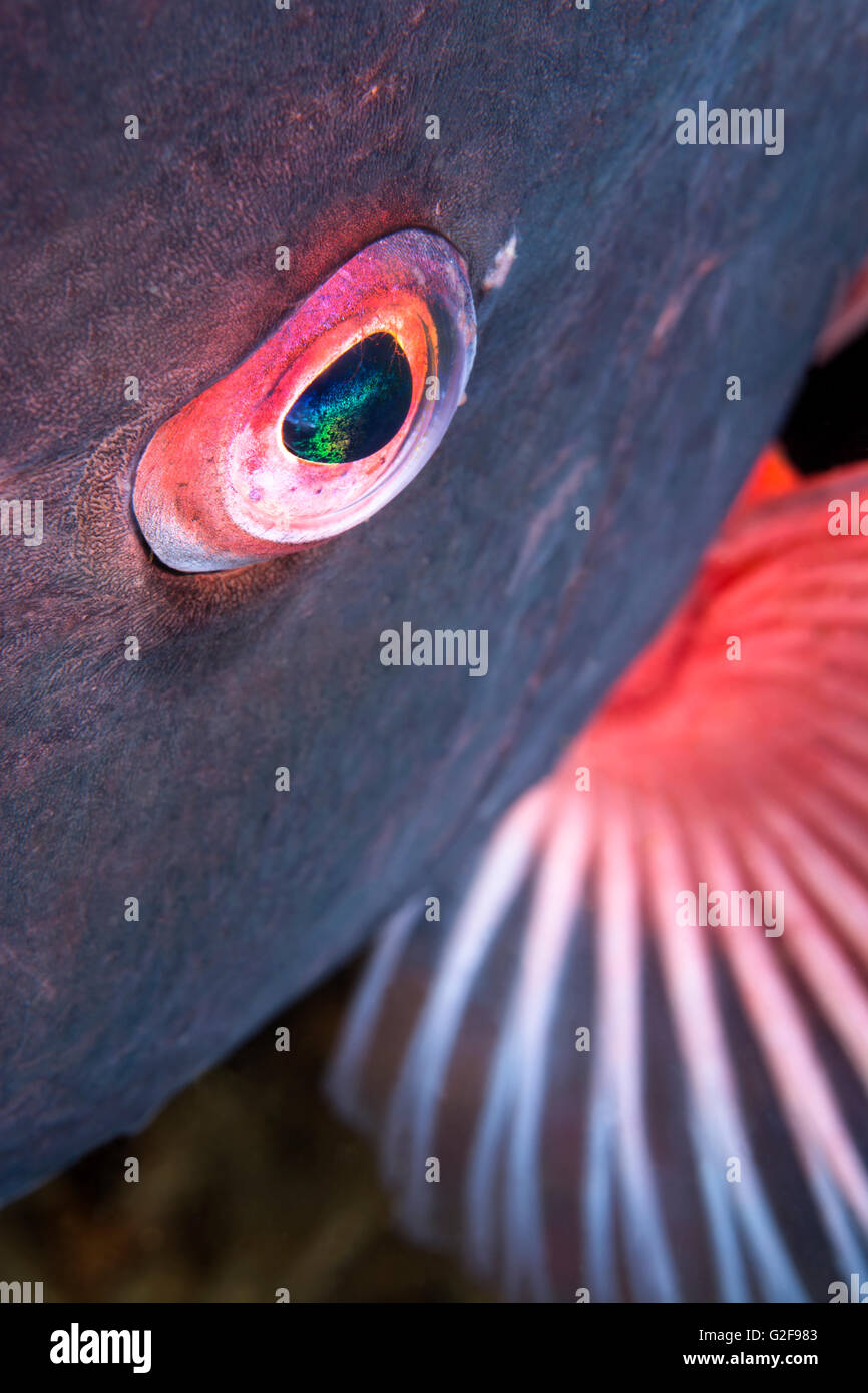 A close up of the eye of a sheepshead fish shows the detail and beauty of a wild aquatic animal - Stock Image