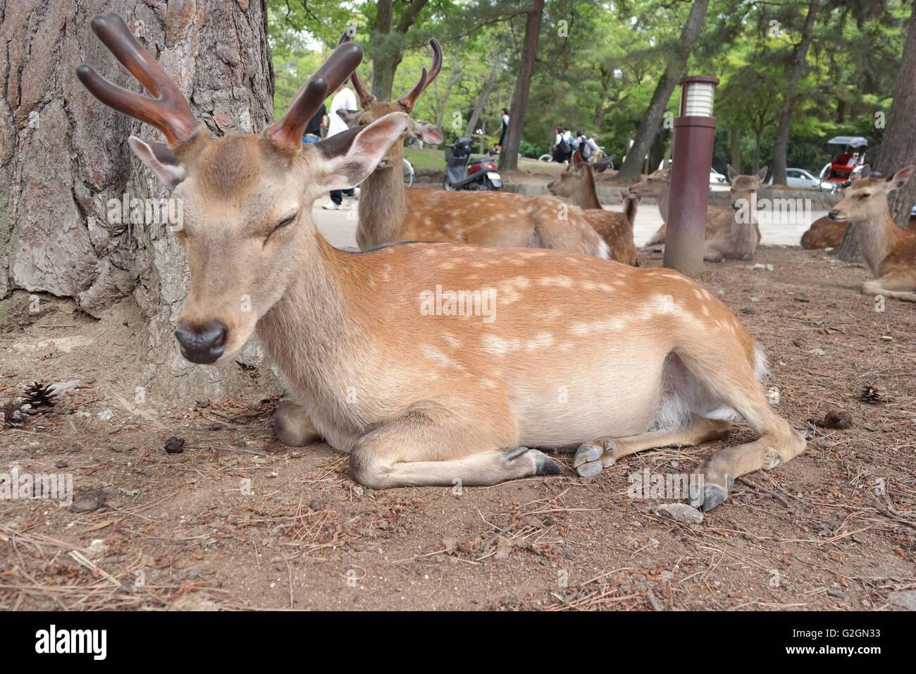 Nara Park Deer - Stock Image