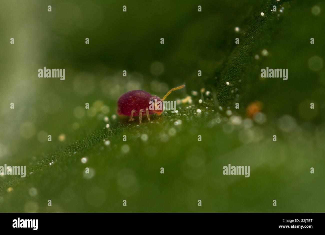 Deuterosminthurus pallipes globular springtails on acanthus leaves - Stock Image