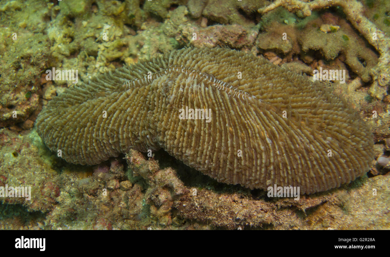 Mushroom coral, Herpolitha limax, from the Coral Triangle, South China Sea, Brunei Darussalam. - Stock Image