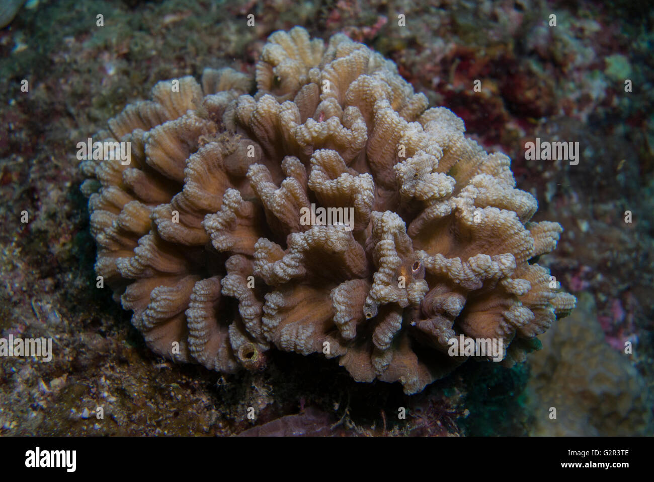 Hard coral, tropical coral reef, Brunei, Coral triangle. - Stock Image