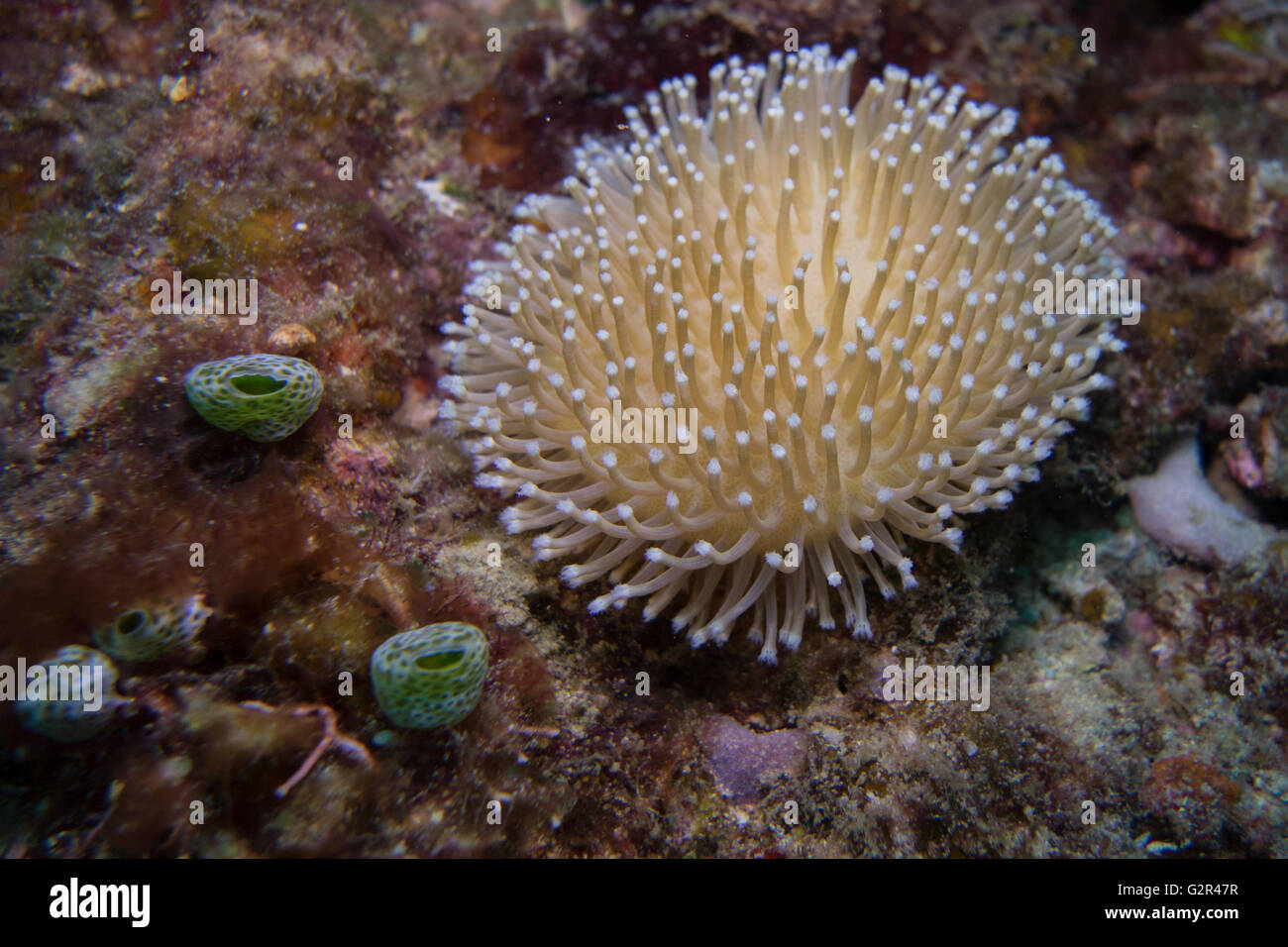 Long polyp leather coral, Sarcophyton sp., from the Coral Triangle, Brunei Darussalam, South China Sea. - Stock Image