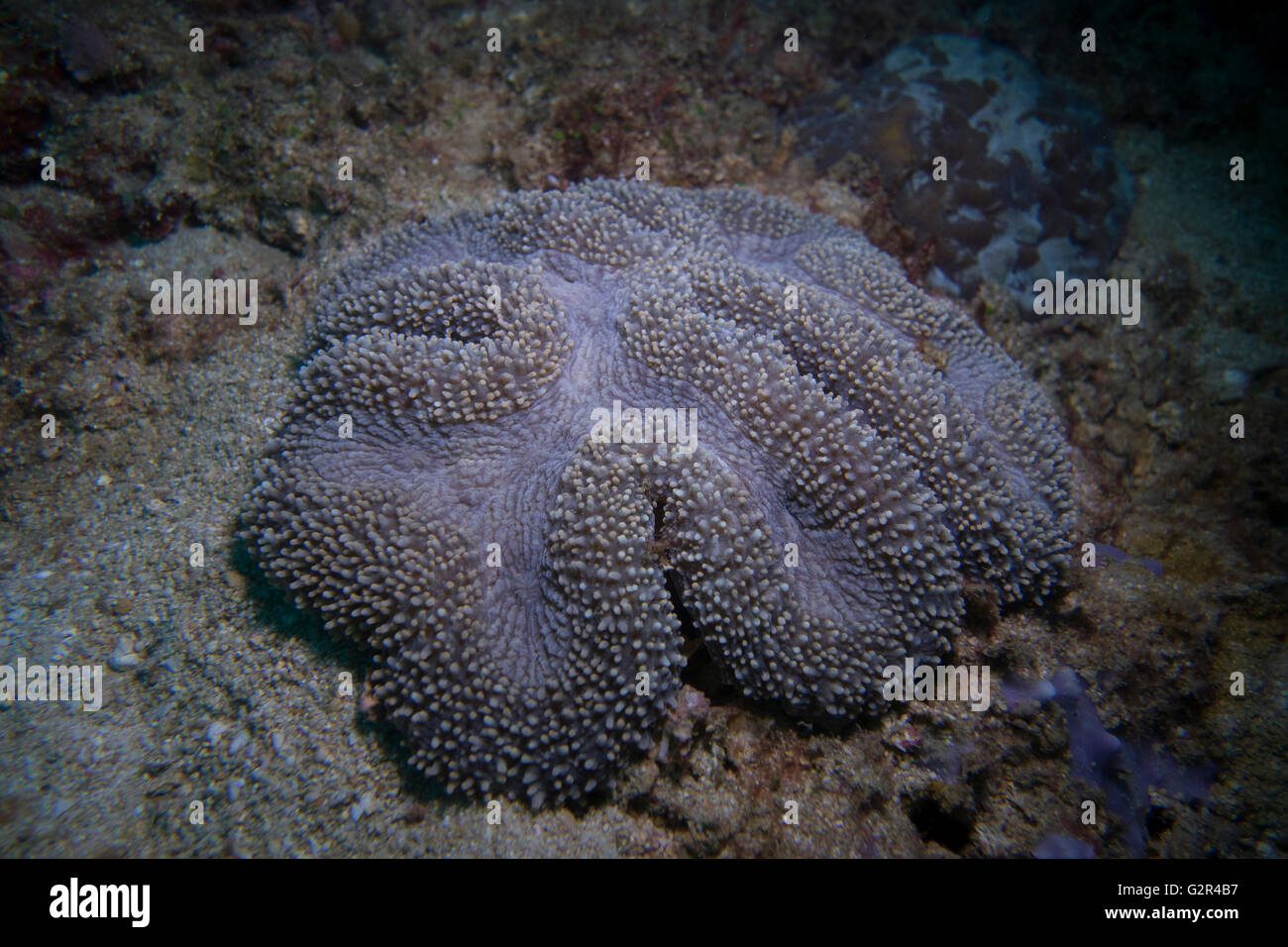 Stony coral, Lobophyllia sp.,  taken while SCUBA diving in the coral reefs of Brunei Darussalam, Coral Triangle. - Stock Image