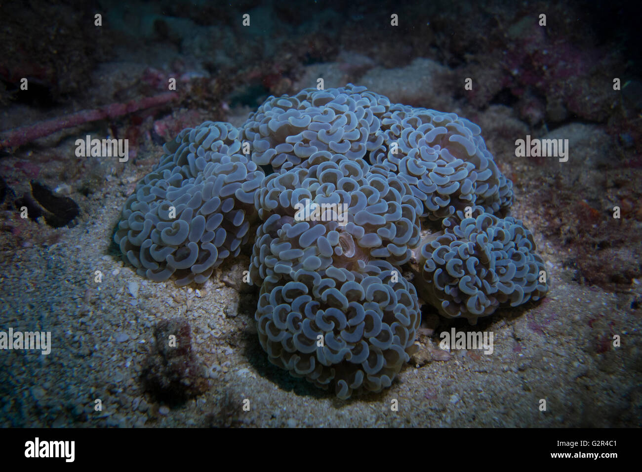 Anchor or hammer coral, Euphyllia parancora, from the Coral Triangle, South China Sea, Brunei. - Stock Image