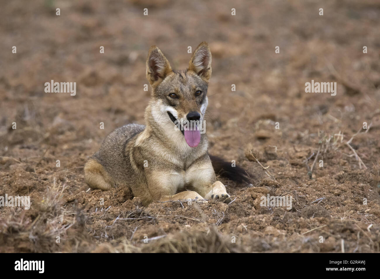 Jackal, Hampi, Karnataka, India - Stock Image