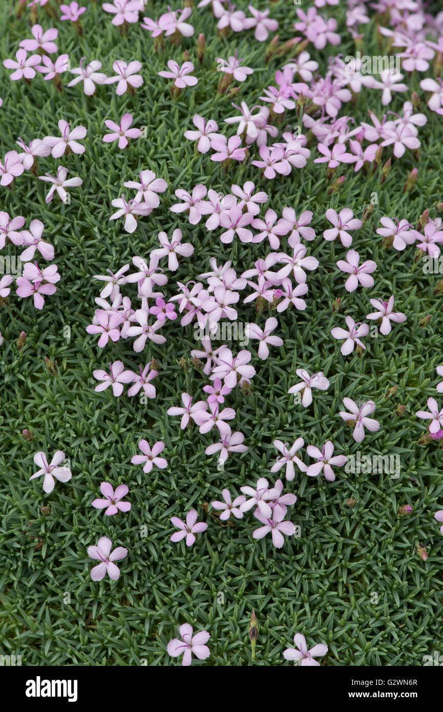 Star shaped pink flowers stock photos star shaped pink flowers anatolian pink in flower stock image mightylinksfo Choice Image