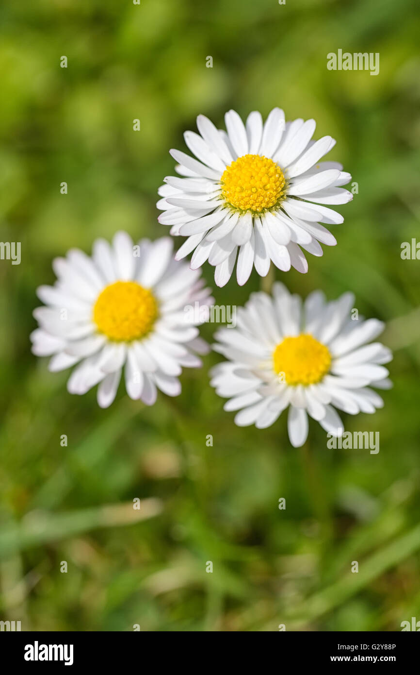 Macro shot of three white daisy flowers in a field of daisies stock macro shot of three white daisy flowers in a field of daisies izmirmasajfo
