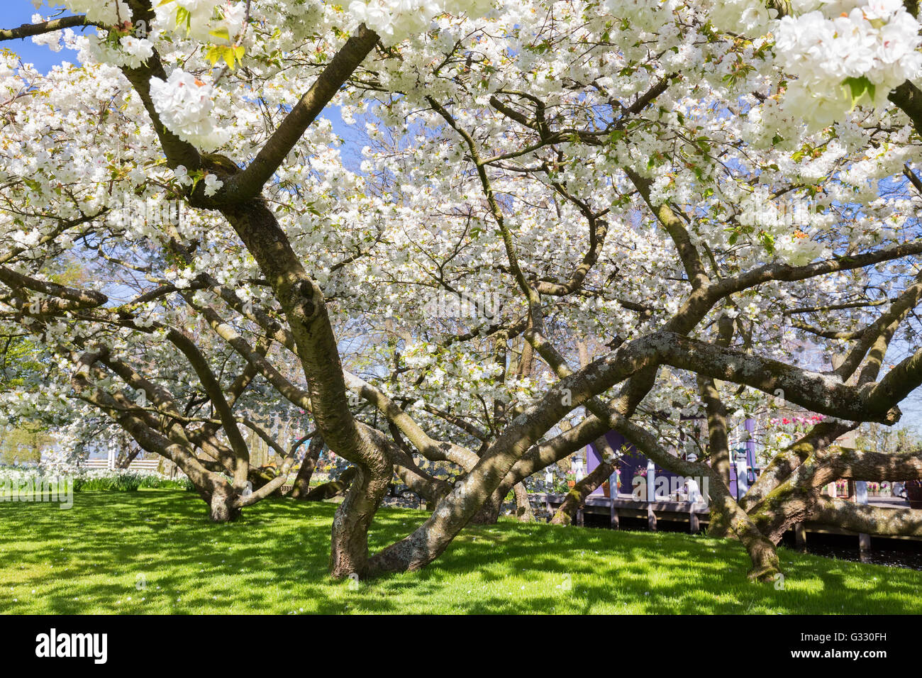 Blossoming Trees With White Flowers In Spring Time Stock Photo