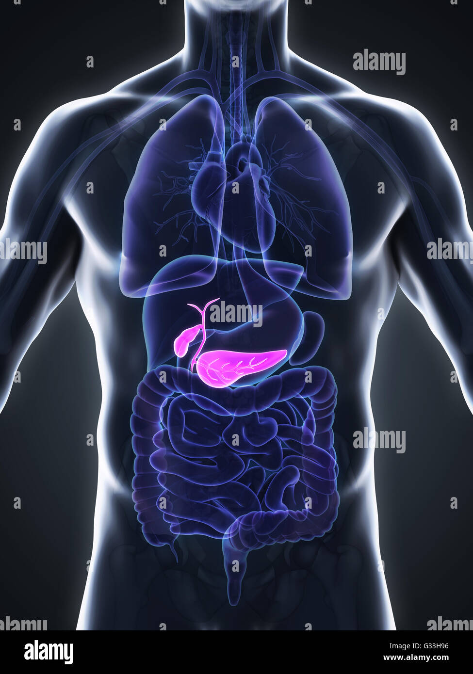 Human Gallbladder And Pancreas Anatomy Stock Photo 105185618 Alamy