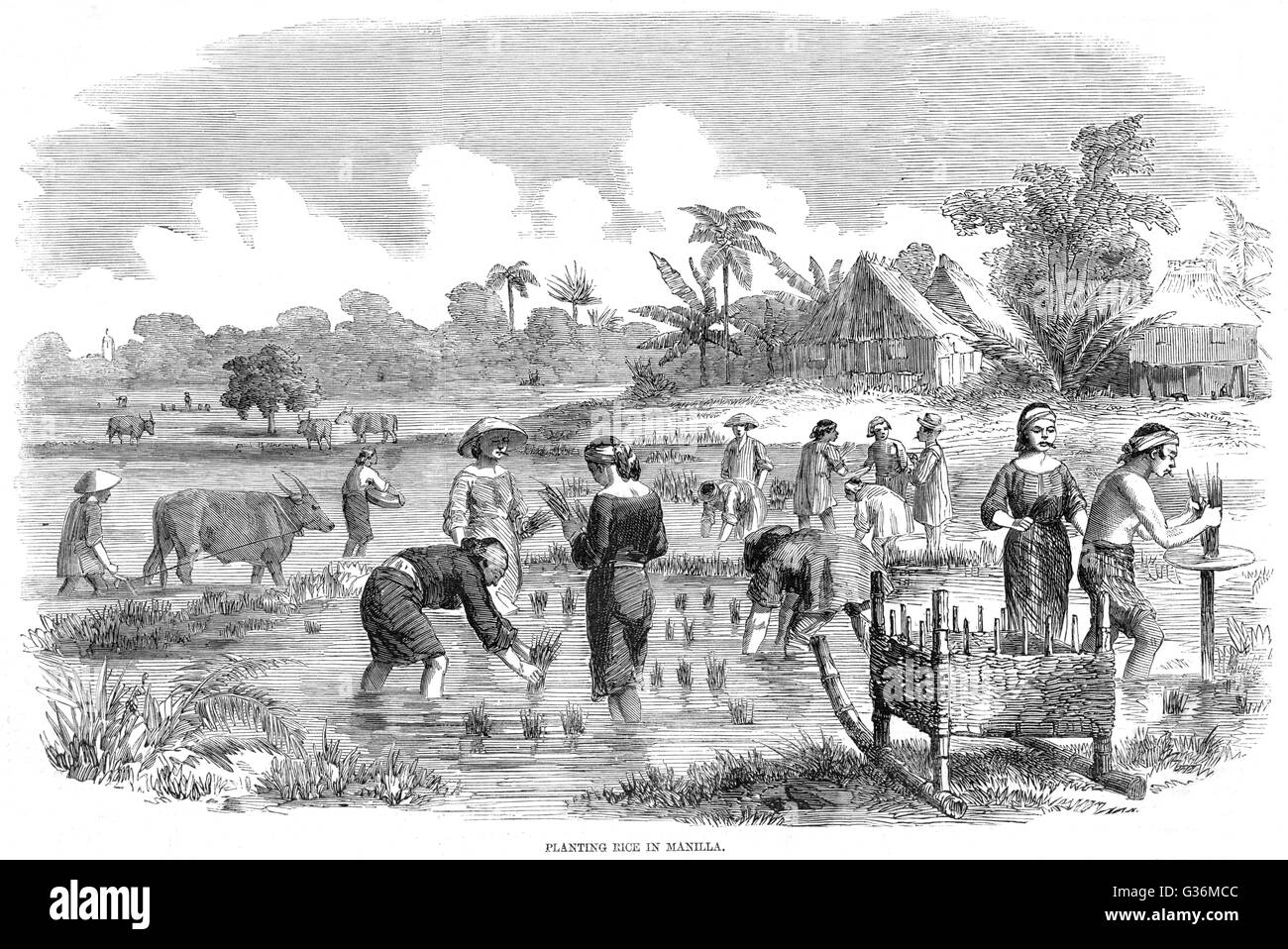 Rice cultivation in Manila, Philippines          Date: 1857 - Stock Image