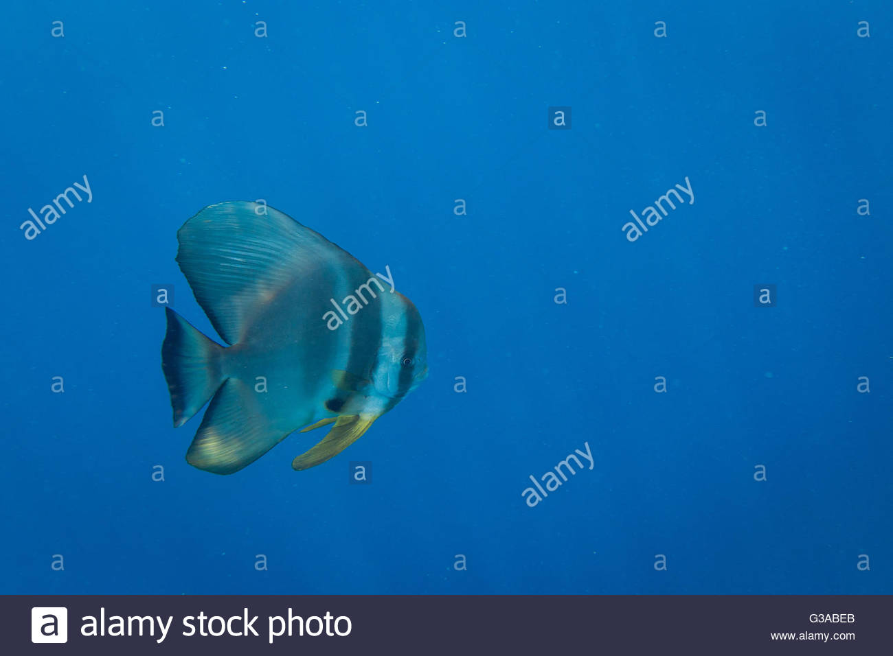 Maldives, Ari Atoll, Moofushi Resort, Oribcular Batfish - Stock Image