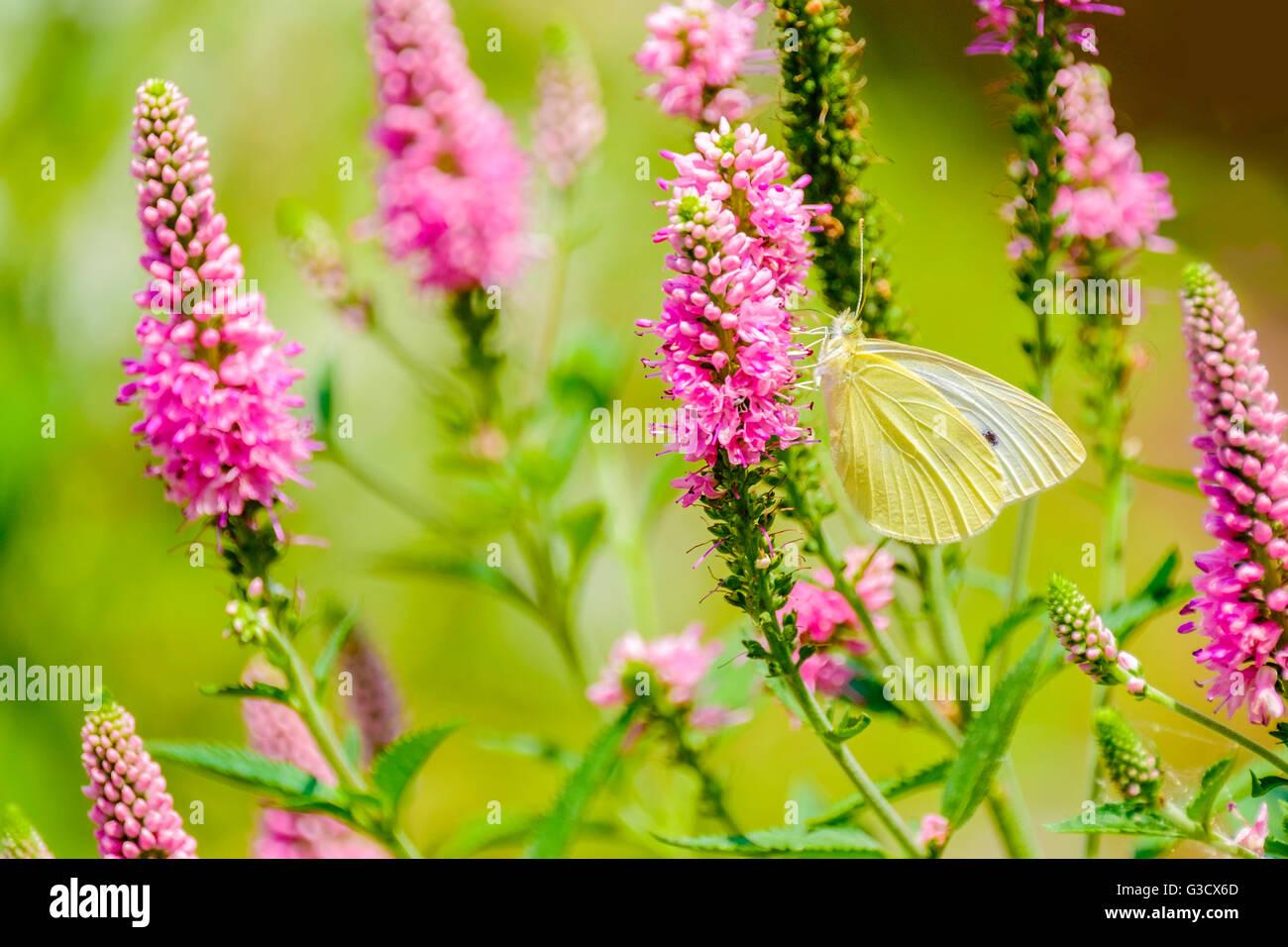 cabbage-white-butterfly-pierus-brassicae