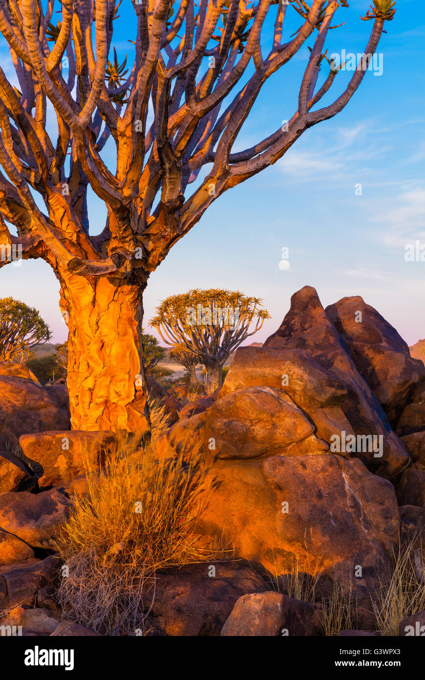 The Quiver Tree Forest (Kokerboom Woud in Afrikaans) is a forest and tourist attraction of southern Namibia. - Stock Image
