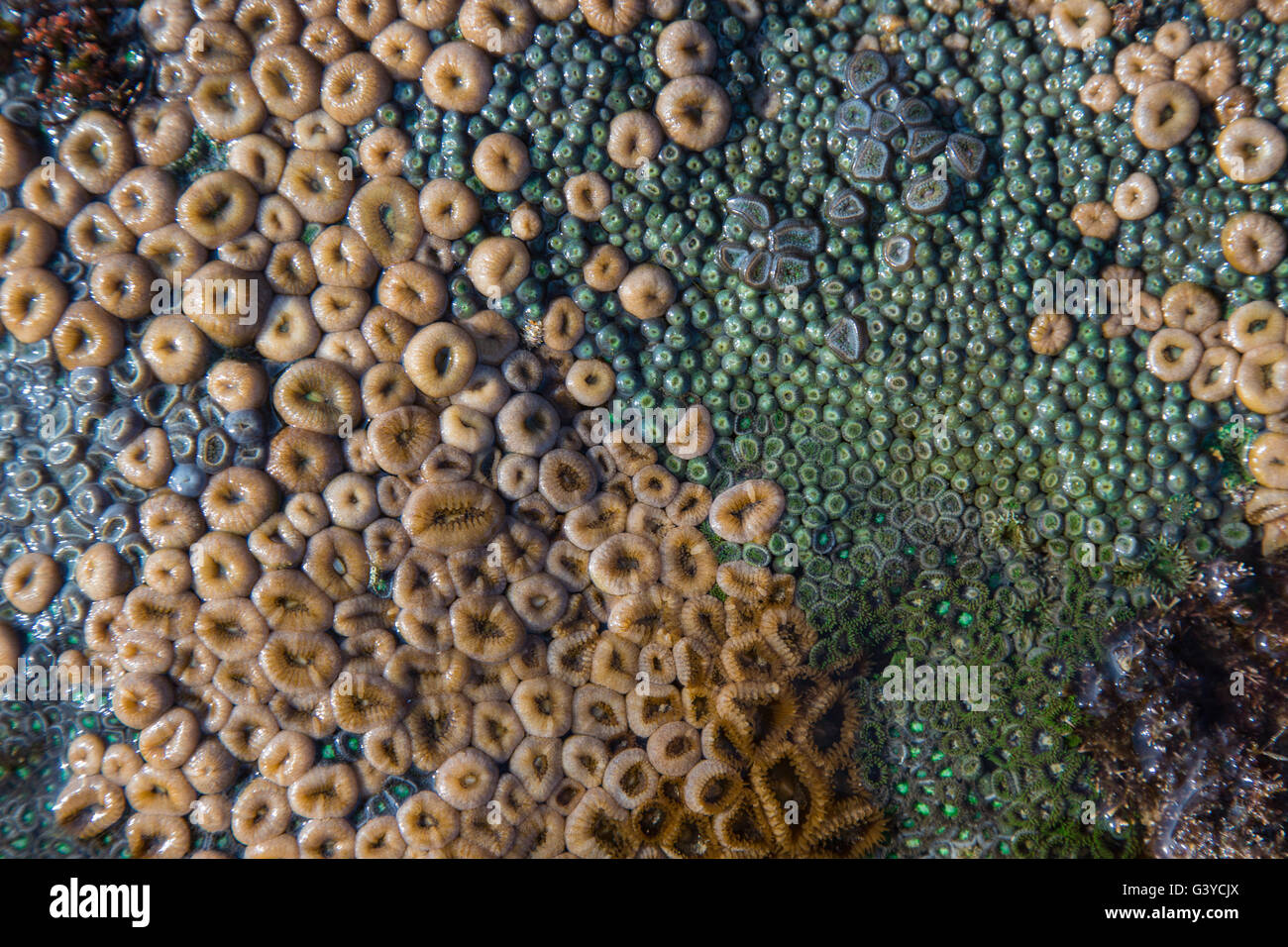 Various Zoanthids or soft coral on the rocks in the inter-tidal zone in Mozambique - Stock Image