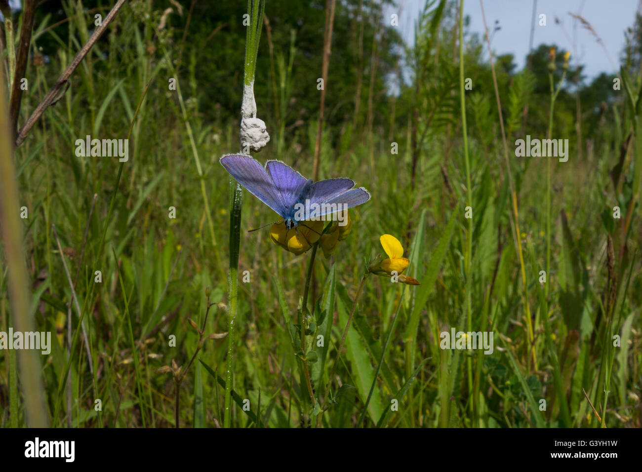Blue - violet butterfly on yellow flower. - Stock Image