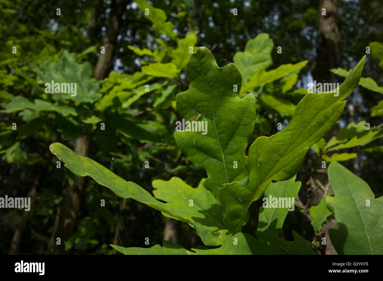 Cucumber green spider (Araniella cucurbitina) between leaves, Germany. - Stock Image