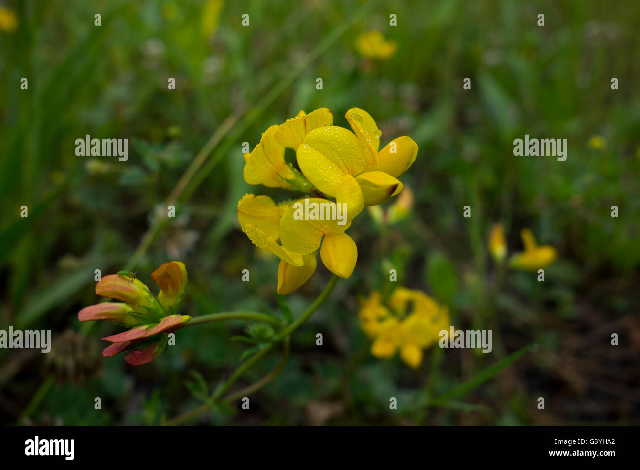 Bird's foot trefoil, Lotus corniculatus, a common field flower of Europe. - Stock Image