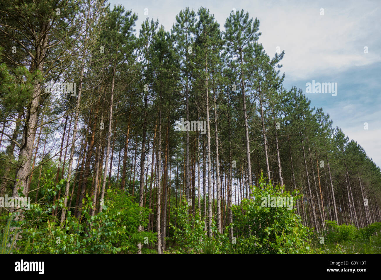 Common spruce, Picea abies, forest in Germany. - Stock Image