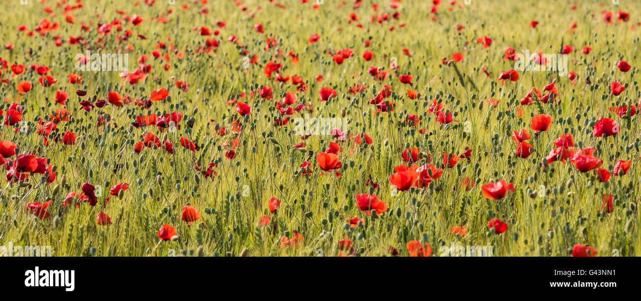 Orange Poppy Flowers In Grain Field Stock Photo 105803741 Alamy