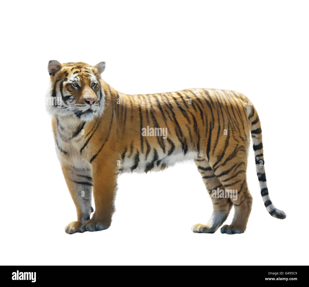 Digital Painting of Tiger isolated on White - Stock Image